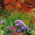 Yellow-orange Kangaroo Paws And Sea Lavender By Napier At Pilgrim Place In Claremont-california by Ruth Hager