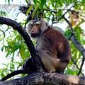 Monkey In Tree by John Hughes