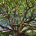 Monkey Pod Branches by Charmian Vistaunet