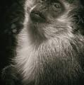 Monkey Portrait by Laura Macky
