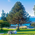 Monkey Puzzle Tree In Central Park In Bariloche-argentina  by Ruth Hager
