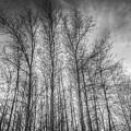 Monochrome Sunset Trees by David Pyatt