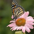 Monorch Butterfly by Raju Alagawadi