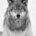 Monotone Timber Wolf  by Tony Beck