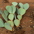 Monsoon Prickly Pear by Eric Rosenwald