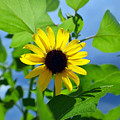 Monsoon Sunflower by Heather S Huston