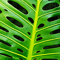 Monstera Leaf by Carlos Caetano