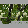 Montana Bear Grass by Whispering Peaks Photography