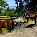 Montana Horses by Ralph  Perdomo