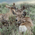 Montana Mule Deer On A Spring Night by Yeates Photography