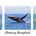 Monterey Humpback by Candice Zee