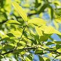 Monterrey Oak Leaves In Spring by JG Thompson