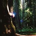 Montgomery Woods Burl by Steven Wirth