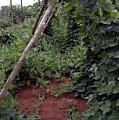 Monticello Vegetable Garden  Tee Pee by LeeAnn McLaneGoetz McLaneGoetzStudioLLCcom