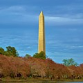 Monument Blossoms, Japanese Cherry Blossom Trees With The Washington Monument In The Background by William Bartholomew