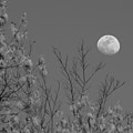 Moon And Trees B And W by Jeanette Fiveash