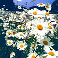 Moon Daisies by Eve Penman