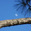 Moon On A Pine Bough by Jonathan Kotinek