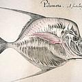 Moonfish, 1585 by Granger