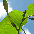 Moonflower Vine Bud To The Sky by Anna Lisa Yoder
