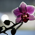 Moonlight And Orchid by John Lautermilch