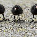 Moorhen Chicks by Natural World Studio