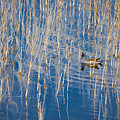 Moorhen In The Reeds by Carolyn Marshall