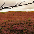 Moorland Heather by Tony Murtagh