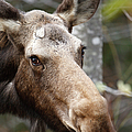 Moose - White Mountains New Hampshire Usa by Erin Paul Donovan