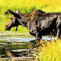 Moose At Jackson Hole by Ben Graham