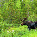 Moose At Murdock Basin by TL  Mair