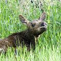 Moose Baby by Gary Beeler