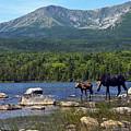 Moose Baxter State Park Maine 2 by Glenn Gordon