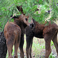 Moose Calves by Cindy Murphy