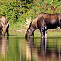 Moose Country by Jack Bell