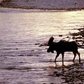 Moose Crossing by Carolyn Fox
