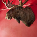 Moose Head Mounted On A Wall. by John Greim