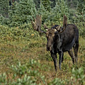 Moose In Shrubs by Steven Parker