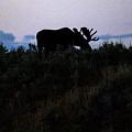 Moose In Silhouette by Stephen Schwiesow