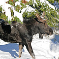 Moose In Snow by Cindy Murphy - NightVisions