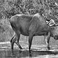 Moose In The Marsh Black And White by Adam Jewell