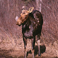 Moose by Ken Maher