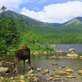 Moose Looking Back Sandy Stream Pond by John Burk