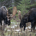 Moose. Males Fighting During The Rut by Philippe Henry