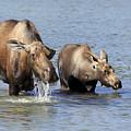 Moose Mama With Her Calf by Teresa Zieba