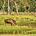 Moose Meadows by Heather Hubbard