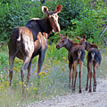 Moose Mom And Babies by Cindy Murphy - NightVisions