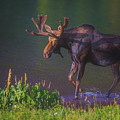 Moose On The Loose by Luis A Ramirez