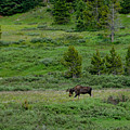 Moose On The Loose by Tranquil Light  Photography