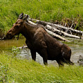 Moose Out Of Water by Tranquil Light  Photography